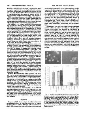 Nerve growth factor induces neuron-like differentiation